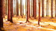 Coniferous Forest in the Sunlight PAN