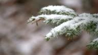 HD: coniferous tree in the winter