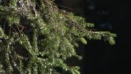 HD: Coniferous tree