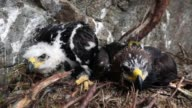 Conservationists Ewan Weston and Justin Grant attach a GPS satellite tag to two seven and a half week old Golden Eagle chicks at a remote nest site...