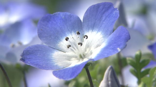Contributor approval required for all uses http//enhitachikaihinjp/ A tiny violetblue flower sways in the wind