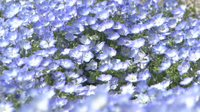 Contributor approval required for all uses http//enhitachikaihinjp/ A carpet of tiny violetblue flowers sway in the wind