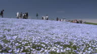 Contributor approval required for all uses http//enhitachikaihinjp/ Tourists sound a bell on a hill with carpet of flowers