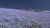 Contributor approval required for all uses http//enhitachikaihinjp/ Tourists walk along a curved path on a hill with carpet of flowers