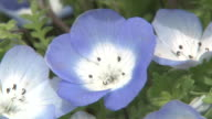 Contributor approval required for all uses http//enhitachikaihinjp/ Tiny violetblue flowers sway in the wind