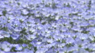 Contributor approval required for all uses http//enhitachikaihinjp/ Tiny violetblue flowers swing in the wind
