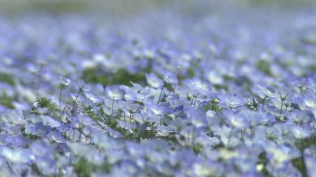 Contributor approval required for all uses http//enhitachikaihinjp/ Acervate nemophila menziesii flowers sway in the wind