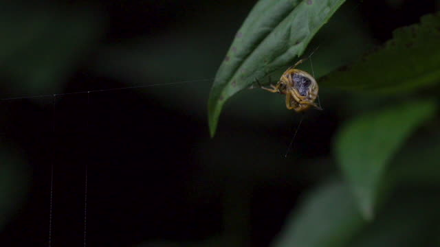 Cool African spider reeling in some web, lots of leg movement
