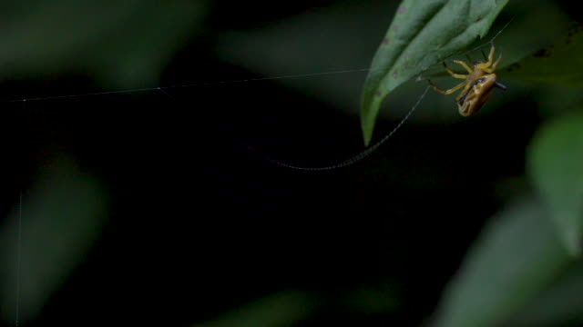 Cool African Spider, whole web making process