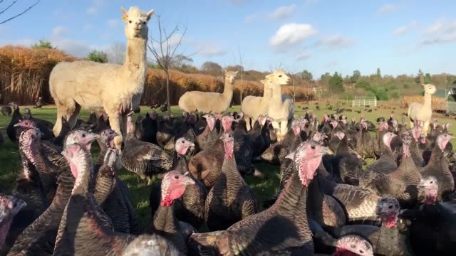 Copas Farms in Iver use alpacas to guard their turkeys against fox attacks before Christmas