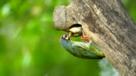 Coppersmith Barbet feeds its babies