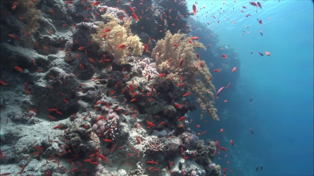 MS Coral goldfish (Pseudanthias squamipinnis) and Anthias (Shoaling Anthias) over corals in Red Sea / Sharm-el-Sheikh, Egypt