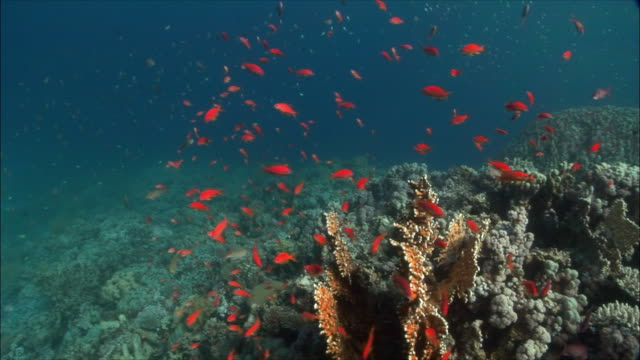 MS Coral goldfish (Pseudanthias squamipinnis) over coral head in Red Sea / Sharm-el-Sheikh, Egypt