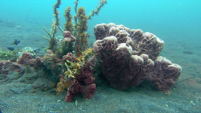 Coral reef. Filmed Lembeh, North Sulawesi, Indonesia