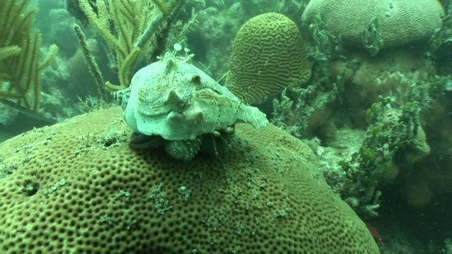 Coral reef CU Hermit crab w/ large claws moving w/ shell on top of Brain coral stopping sitting both sets of feelers moving murky water BG Ecosystem...