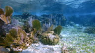 Coral reef with many Venus sea fan / purple gorgonian sea fan on Hol Chan Marine Reserve Caribbean Sea - Belize Barrier Reef / Ambergris Caye