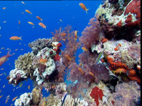 Coral reef with Scalefin Anthias fish