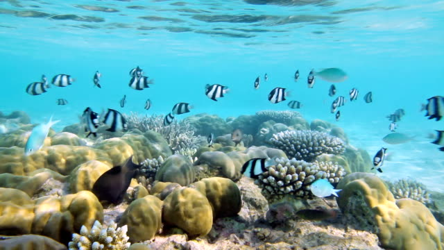 Coral Reef with shoal of Whitetail dascyllus
