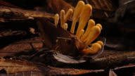 A Cordyceps fungus sprouts from a dead cricket. Available in HD.