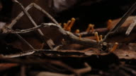 A Cordyceps fungus sprouts from a dead stick insect. Available in HD.