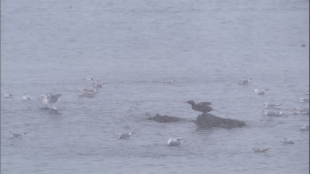 A cormorant jumps into water amongst gulls during a snowstorm. Available in HD.