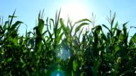 Corn And Sun Flare