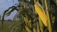DS Corn crop in the field