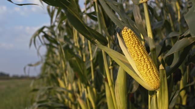 Corn crop in the wind