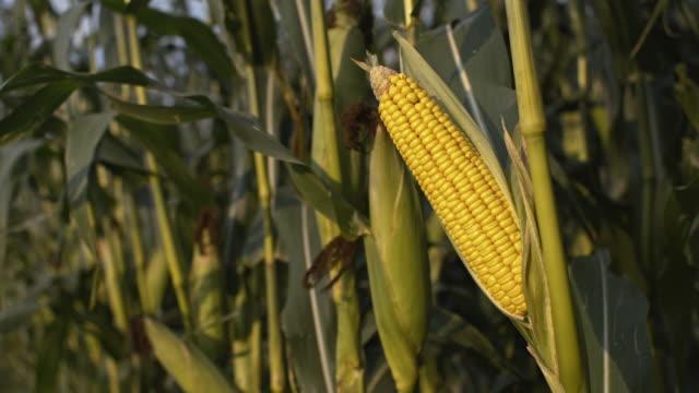 DS Corn crop