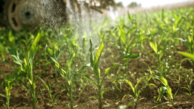 SLO MO Corn crops on the sunny field being sprayed