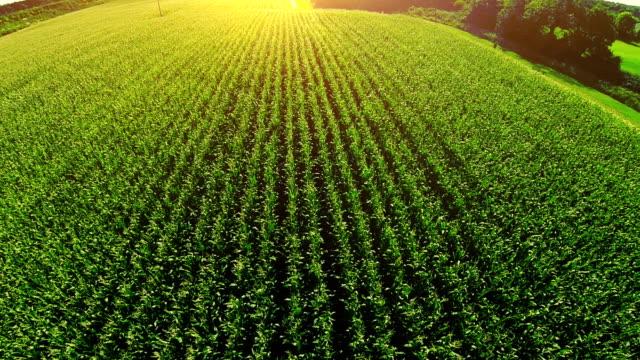 corn field aerial