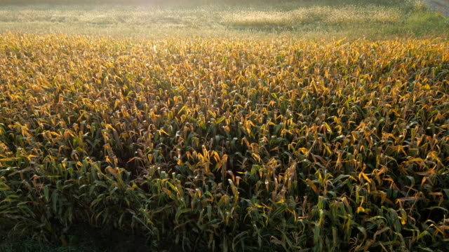 AERIAL Corn Field At Dawn