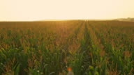 AERIAL Corn field at sunrise