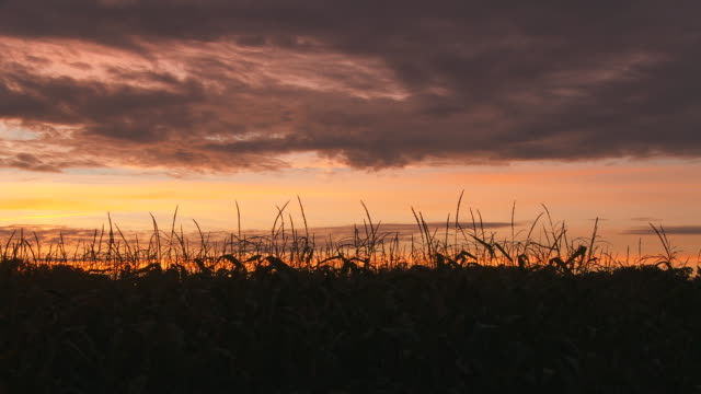 HD DOLLY: Corn Field At Sunset