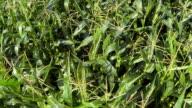 Corn Field In Summer Aerial Flyover Shot