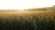 AERIAL Corn Field In The Morning Mist