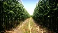 HD: Corn Field