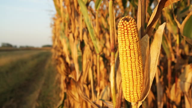 HD DOLLY: Corn In Afternoon Sunlight