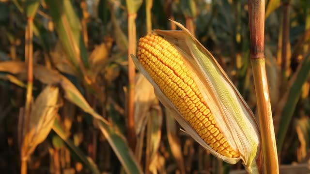 HD DOLLY: Corn In Golden Sunlight