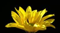 Chrysanthemum segetum Blume im wunderschönen leichten mit Wasser Tropfen