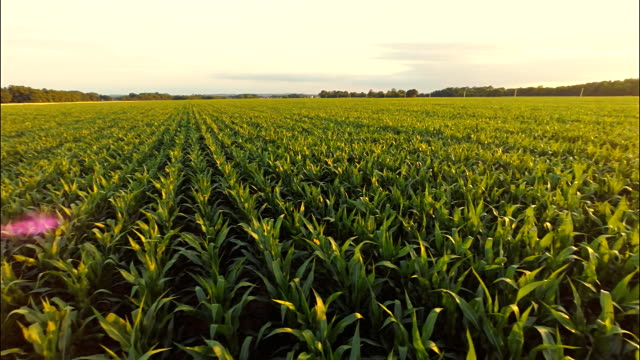 AERIAL Corn Plants