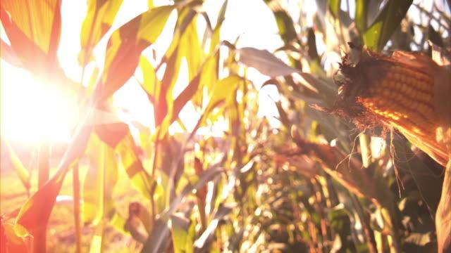 SLO MO PAN Corn shining in the setting sun