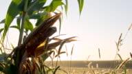 MS DS Corn Smut