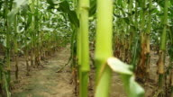 HD DOLLY: Corn Stems