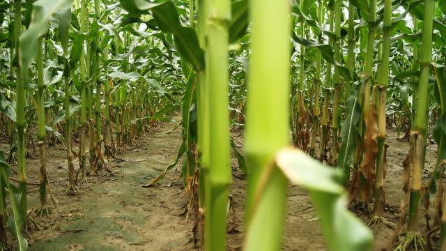 HD DOLLY: Corn Stems