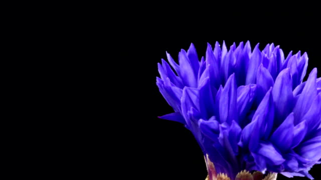 Cornflower blooming HD
