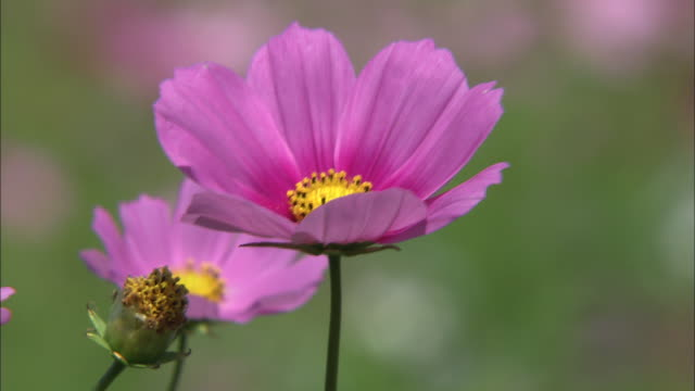 cosmos blossoms breezes pink petals flowers