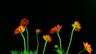 Schmuckkörbchen blooming Time lapse