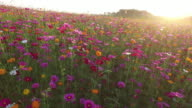 Cosmos flower fields in sunset