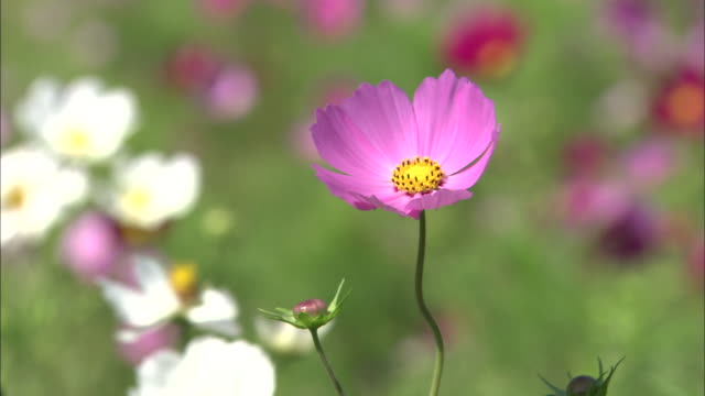 cosmos flowers breezes fields meadows pink white